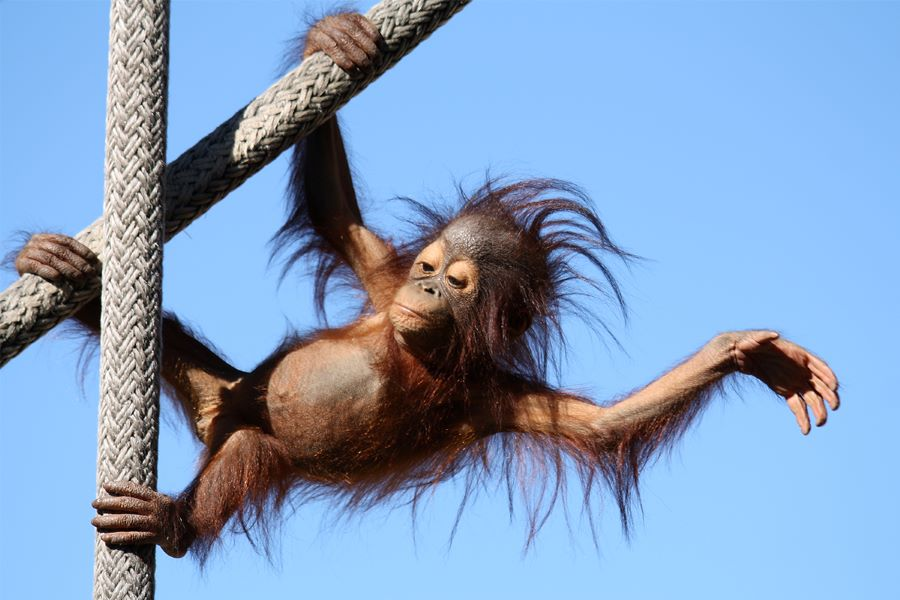 orangutan hanging on ropes